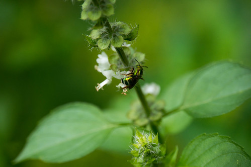 09415 Green Metallic Sweat Bee on Lemon Basil
