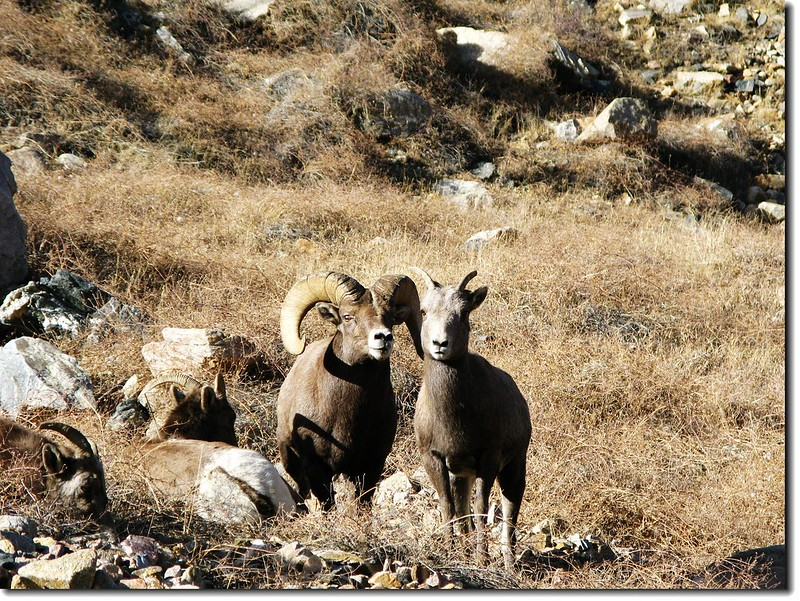 Bighorn Sheep in Georgetown 1