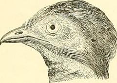"""Image from page 432 of """"Histoire naturelle des oiseaux : suivant a classification de Isidore Geoffroy-Saint-Hilaire ; avec l'indication de leurs moeurs et de leurs rapports avec les arts, le commerce et l'agriculture"""" (1855)"""
