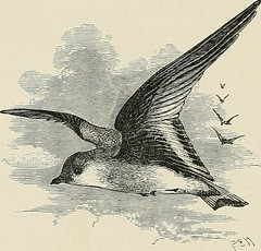 """Image from page 326 of """"The geographical distribution of the family Charadriidae, or the plovers, sandpipers, snipes, and their allies"""" (1888)"""