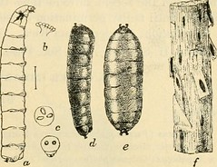 """Image from page 46 of """"A manual of dangerous insects likely to be introduced in the United States through importations"""" (1917)"""