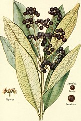 "Image from page 17 of ""Spices, their nature and growth, the vanilla bean, a talk on tea"" (1915)"