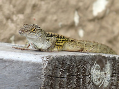 fence lizard behind my office building