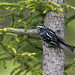 paruline noir et blanc / black-and-white warbler
