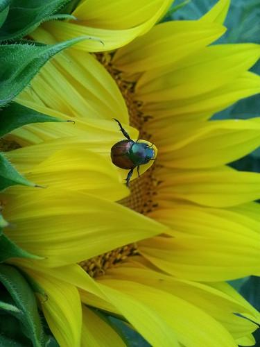 Beetle on Sunflower