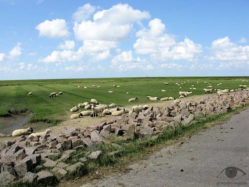 Noch mehr Schafe
