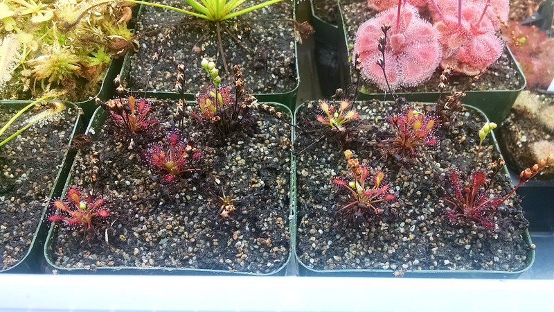 Drosera intermedia 'Cuba', mostly successful.