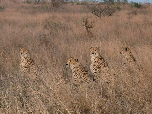 southafrica cheetah kwazulunatal gepard acinonyxjubatus guépard jachtluipaard