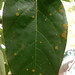 Small photo of Algal leaf spot of avocado