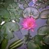 Teratai merah 04  Kilan belakang rumah Andromax Ule Snapsheed  #flower #BandungBarat #westjava