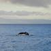 Humpback Whale (breaching)