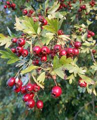 Autumnal ripeness