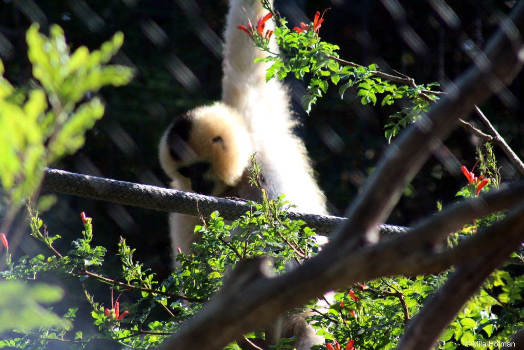Red-Cheeked Gibbon