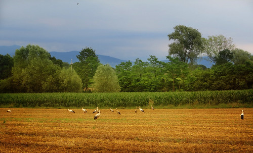 trees italy green bird nature field gold countryside italia country stork storks cegonha cigüeña friuli storch ooievaar fagagna cicogne cicogna oasideiquadris feagne
