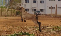 Little goat #iphone5s #prabhuclicks #action #camera