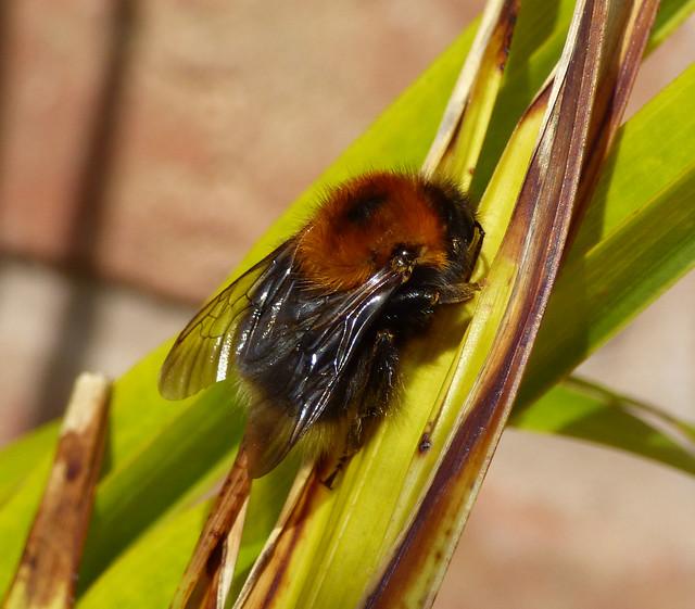 Tree Bee, Bombus hypnorum