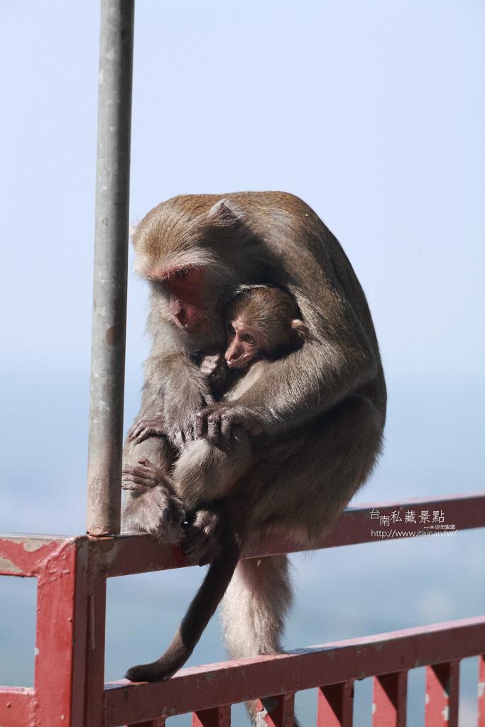 台灣獼猴 (16)