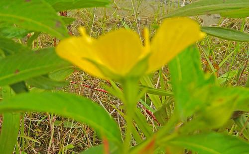 170304 2017 ecuador ludwigia ludwigiaperuviana myrtales onagraceae peruvianprimrosewillow rosids zamora zamorariver flower primrosewillow wildflower