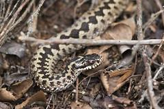 British Snakes