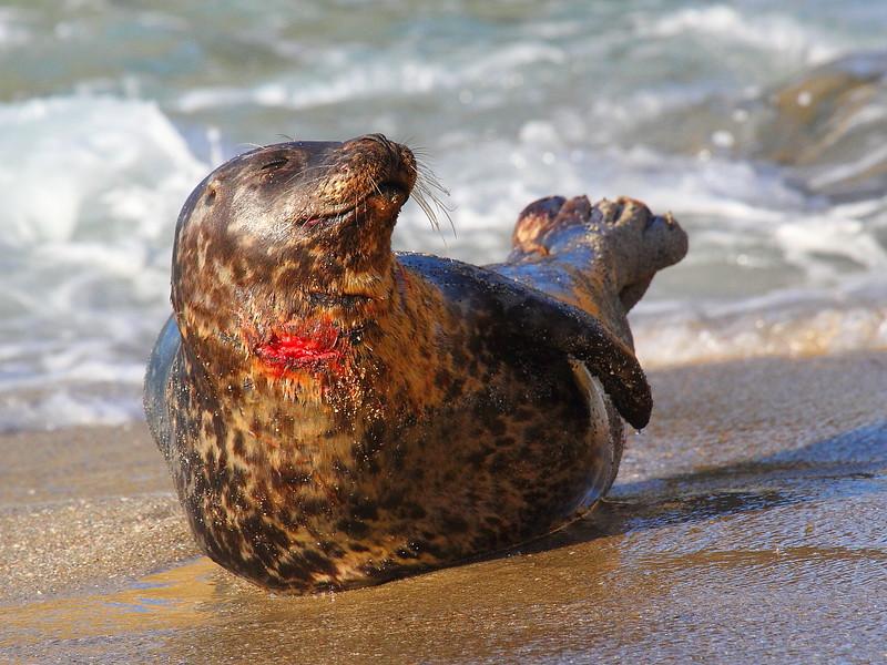 IMG_7402 Injured Harbor Seal