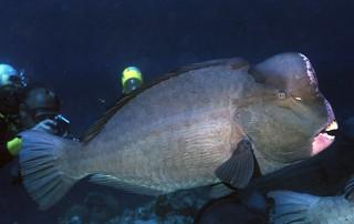 隆頭鸚哥魚。(圖片來源:林務局提供)