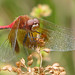 Band-winged meadowhawk, male (Sympetrum semicinctum) - RARE