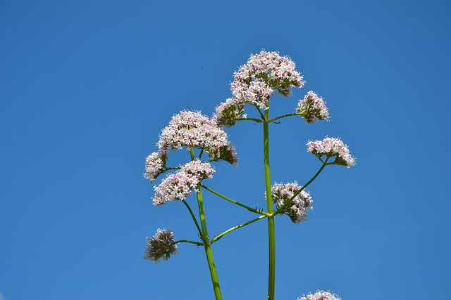 Valeriana officinalis - valériane officinale 14365394654_30cf85ec3d_z