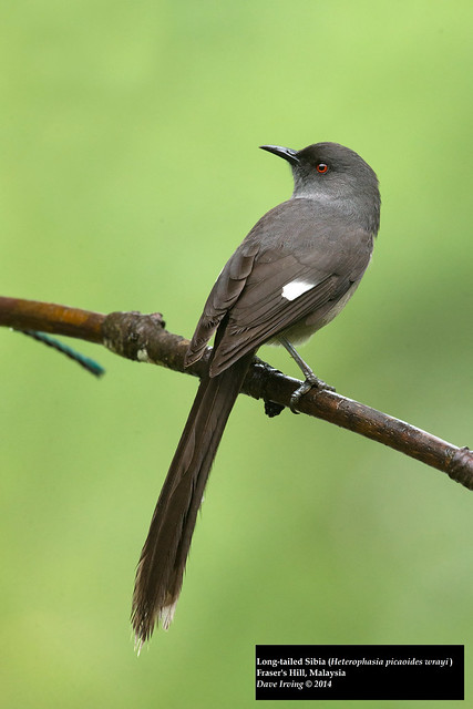 Long-tailed Sibia (Heterophasia picaoides wrayi)