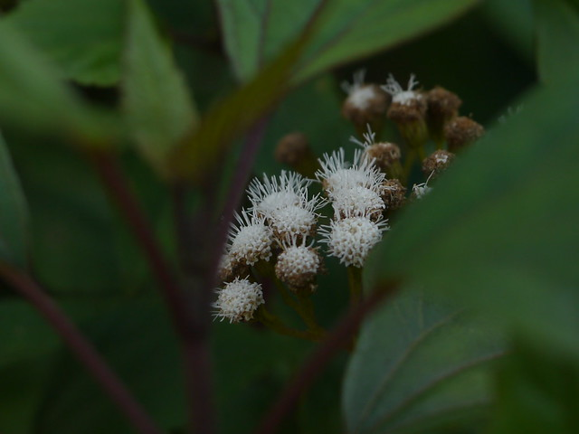Header of Ageratina adenophora