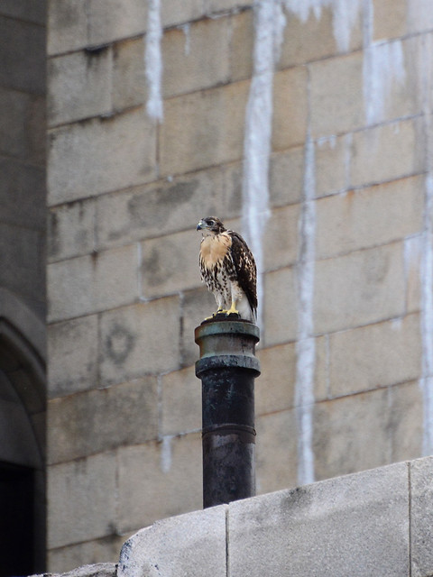 Cathedral Hawk Fledgling #1 (2186)