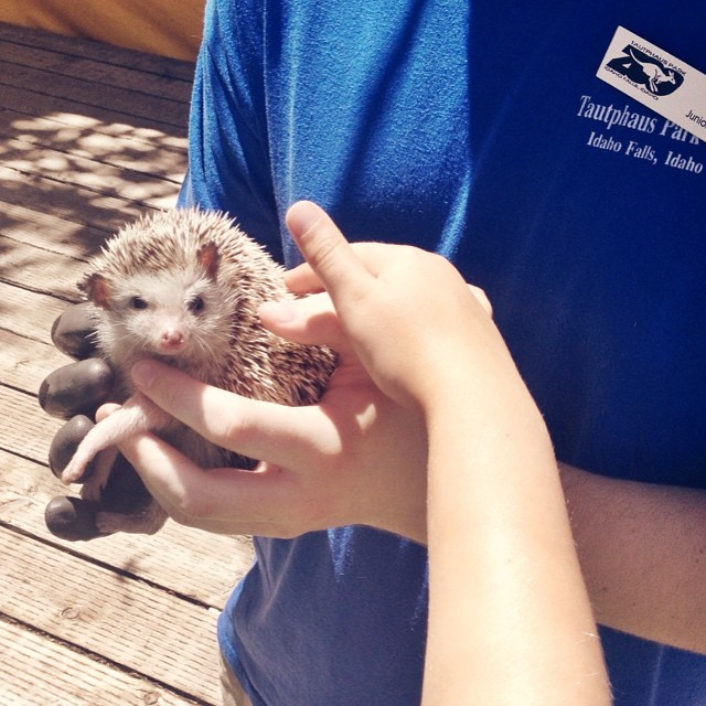 This hedgehog is giving me the stink eye... #hedgehog #zoo #idaho #idahofalls