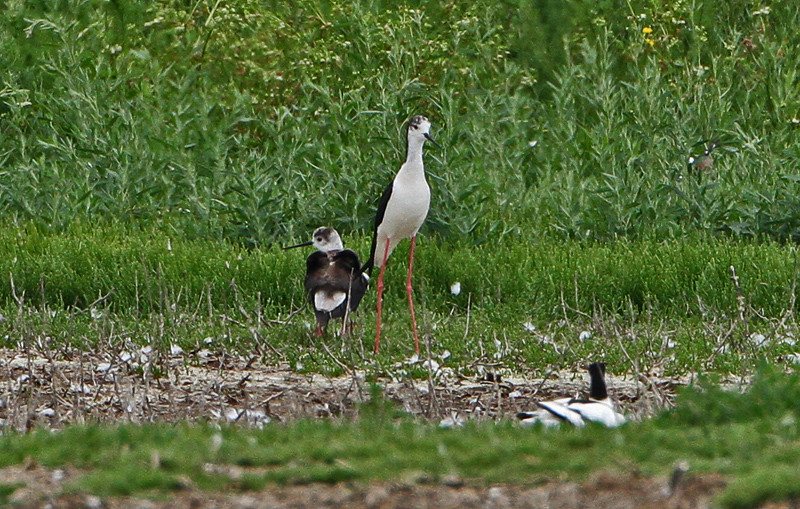 .Black-winged Stilt Pair--Cliffe Pools