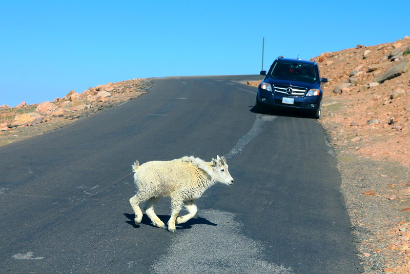 IMG_4650 Mountain Goat