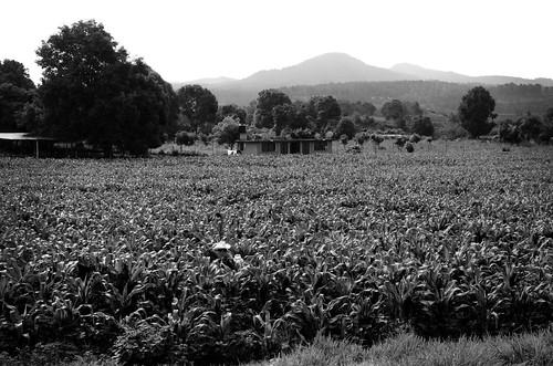 blackandwhite bw black countryside corn campo fields cornfields maiz pipioletepec santamariapipioltepec