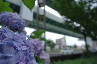 The flowers of Hydrangea in large city.