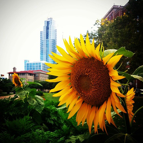 Sunflowers at Lytle Park in downtown Cincinnati. #LivingInTheCin #SummerInCincy