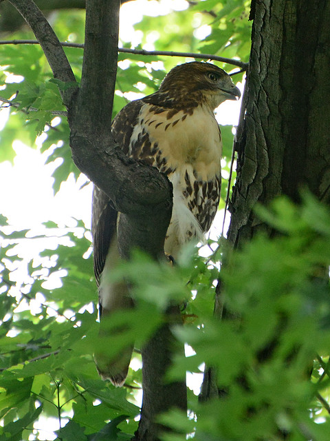 Juvenile Cathedral Hawk - 4141