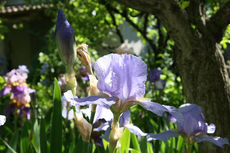 Iris 'Great Lakes' - Cousins 1938 14490205469_ce4a5d7532_c