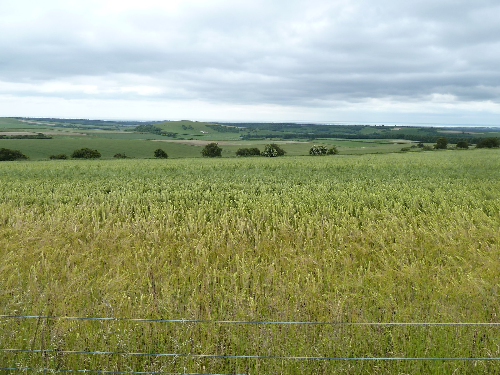 Wheatfield, June Along the South Downs Way