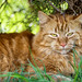 Small photo of Cute lying ginger cat II