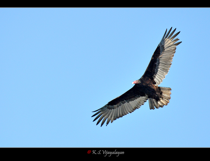 Turkey Vulture, USA
