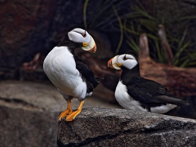 Horned Puffins Sealife Ctr 2-20140620