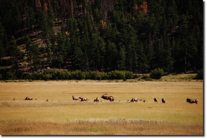 Elks in Moraine Park 8