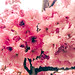 Kwanzan Flowering Cherry Tree by Light in Colors