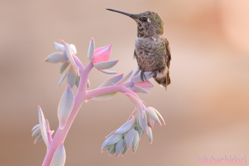 immature male Anna's Hummingbird 220714
