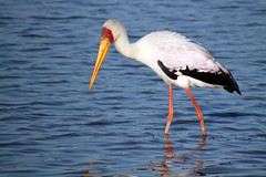 spoonbill(0.0), flamingo(0.0), stork(1.0), animal(1.0), water bird(1.0), fauna(1.0), shorebird(1.0), beak(1.0), bird(1.0),