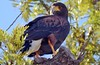 Harris' Hawk, My Yard