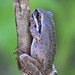 frog on twig DSC_2748 by hummingbirdzoo
