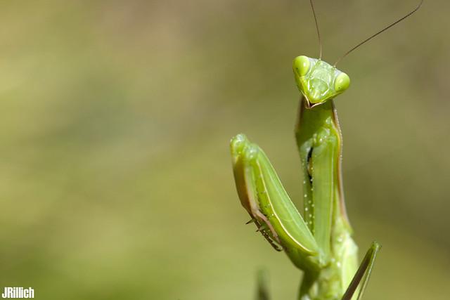 praying mantis, Europäische Gottesanbeterin, Mantis religiosa @ Volegno, Apuan Alps, Tuscany, Italy, 2014