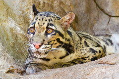 animal, big cats, leopard, mammal, fauna, close-up, ocelot, whiskers, wildlife,